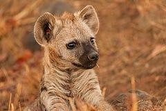 鬣狗崽 免版税图库摄影