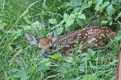 画笔鹿小鹿被盯梢的白色 免版税库存图片