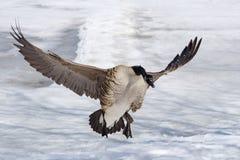 加拿大鹅着陆 免版税库存照片