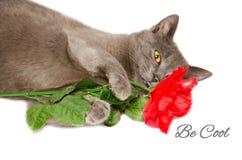 Η δροσερή γάτα με αυξήθηκε Στοκ Εικόνες