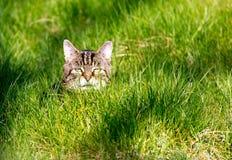 纯掠食性动物-家猫 库存图片