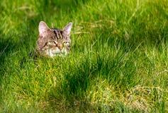 纯掠食性动物-家猫 免版税库存照片