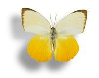 蝴蝶查出的白色 库存图片