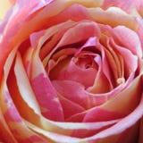 桃红色罗斯背景-花储蓄照片 库存图片