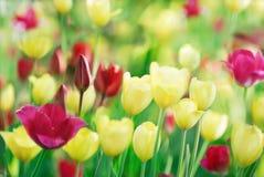 在自然背景的五颜六色的郁金香 库存照片