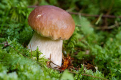 可食的牛肝菌蘑菇 免版税库存照片