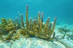 水下的生活分支的花瓶海绵 免版税库存图片