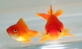 鱼金子 库存照片