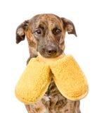 的狗拿着在嘴的拖鞋 背景查出的白色 免版税图库摄影