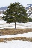 与具球果的叶子的地中海杉树 在雪 免版税库存图片