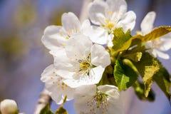 春天庭院特写镜头花开花的樱桃树 免版税库存图片