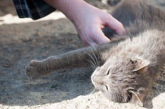 灰色猫爱抚 免版税图库摄影