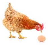布朗母鸡用鸡蛋 免版税库存照片