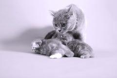 Πρόσφατα γεννημένα γατάκια, πρώτη ημέρα Στοκ Εικόνα