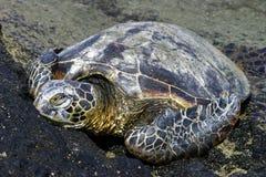 取暖的绿海龟 图库摄影