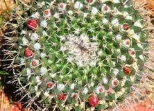 Цветя конец кактуса вверх Стоковое Фото