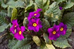 开花紫罗兰 库存图片