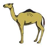 骆驼 库存照片