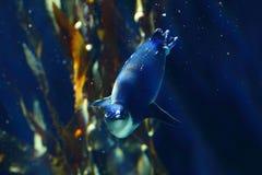 在深蓝水下的风景的小的企鹅 免版税图库摄影