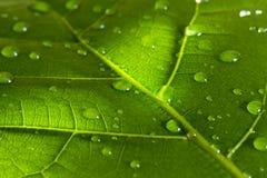 Зеленые лист в солнце с конспектом падения воды флористическим Стоковая Фотография RF