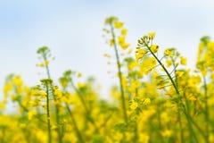 Στενός επάνω λουλουδιών συναπόσπορων ελαιοσπόρων στον καλλιεργημένο γεωργικό τομέα Στοκ φωτογραφία με δικαίωμα ελεύθερης χρήσης