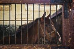 Όμορφο καφετί άλογο κάστανων στη σιταποθήκη το ζωικό αγρόκτημα Στοκ Εικόνες