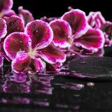 开花的黑暗的紫色大竺葵花美丽的温泉静物画  免版税库存图片