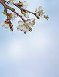 Όμορφο ρόδινο άνθος κερασιών σε ένα μπλε υπόβαθρο Στοκ Φωτογραφίες