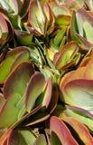 种植多汁植物 库存图片
