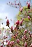 木兰树开花 库存图片