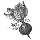 在白色背景的甜菜根 草图 免版税库存图片