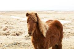 一个棕色冰岛小马的画象 免版税库存照片