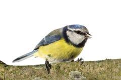 被栖息的蓝冠山雀 图库摄影