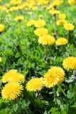 黄色蒲公英花在草甸 免版税库存照片