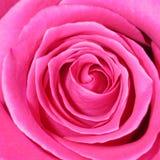 桃红色罗斯背景-花储蓄照片 免版税库存照片