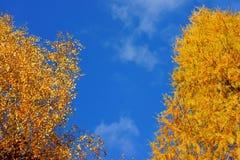 在蓝天的金黄秋叶 库存照片