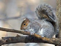 Белка восточного серого цвета в дереве Стоковая Фотография RF