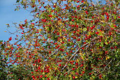 野玫瑰果和狂放的果子 免版税库存图片
