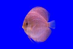 小花卉纹鱼 免版税图库摄影