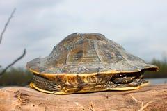 地图乌龟伊利诺伊沼泽地 免版税库存照片