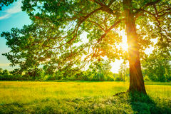 Θερινά ηλιόλουστα δασικά δέντρα και πράσινη χλόη Φύση Στοκ Φωτογραφία