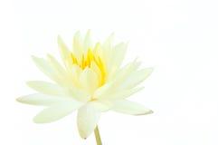 在白色背景隔绝的白莲教花(荷花) 库存图片