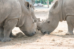 吃干草的白色犀牛 免版税库存图片