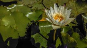 美丽的空白莲花 免版税库存照片