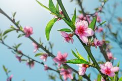 桃子开花和由后照的绿色叶子 免版税图库摄影