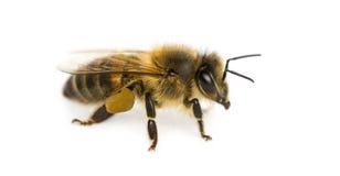 在白色背景前面的蜂蜜蜂 免版税库存图片