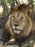 狮子的特写镜头,塞伦盖蒂,坦桑尼亚 图库摄影