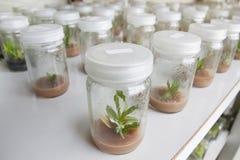 植物组织培养兰花 免版税库存照片