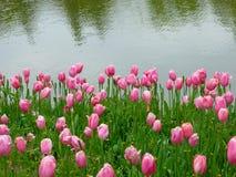 开花在湖附近的桃红色郁金香的领域 免版税库存照片