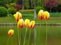 开花在湖附近的桃红色郁金香的领域 免版税库存图片
